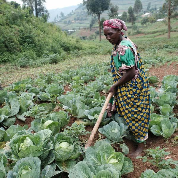 Development in Gardening woman sowing cabbage field
