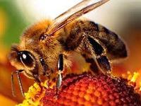 bee, honeybee, flower, apiary