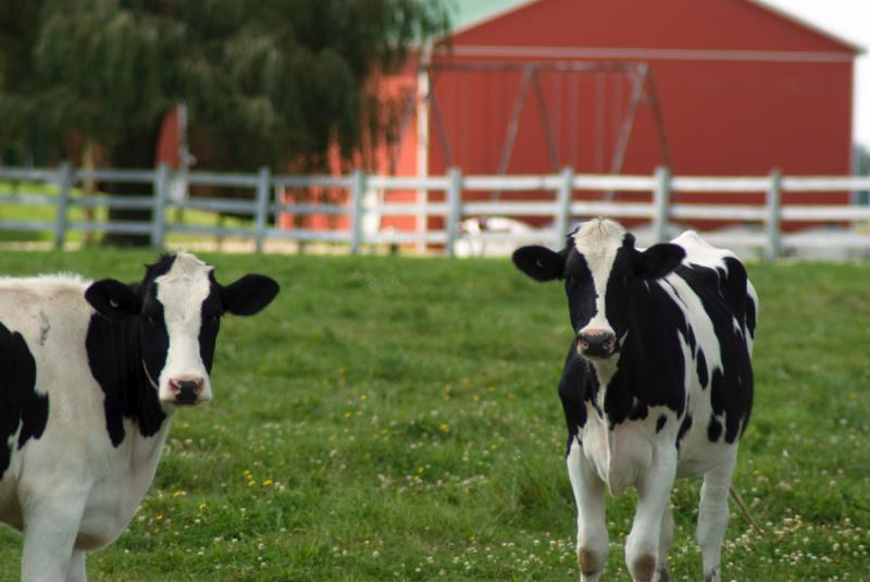 Dairy cow barn livestock