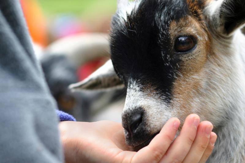 Goat People Livestock
