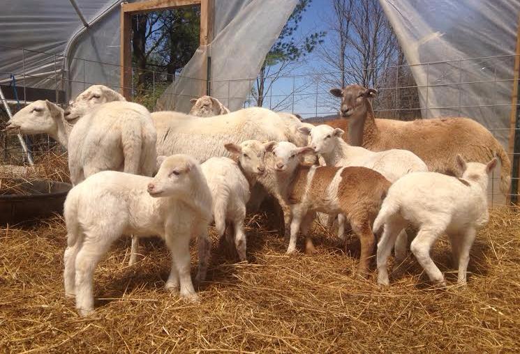sheep livestock lamb