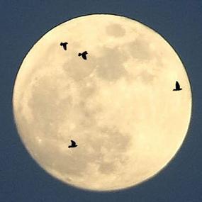 Moon_songbirds_composite_Bob_King_Birdnote