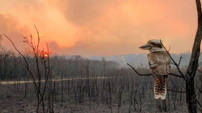 Kookaburra_after_fire