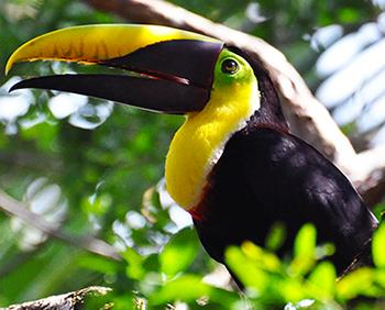 chestnut_mandibled_toucan_DR