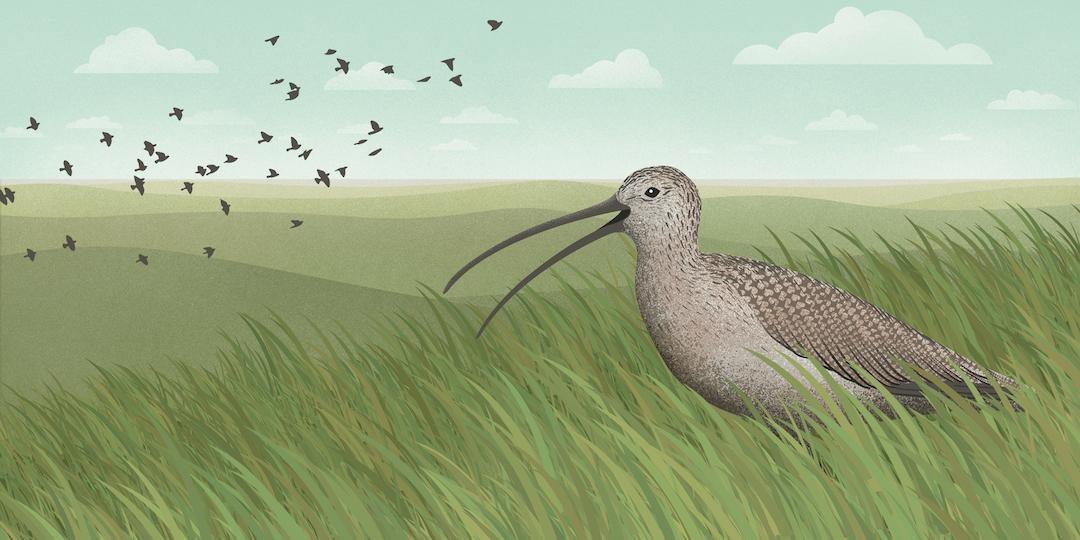 birdnote_curlew_grasslands
