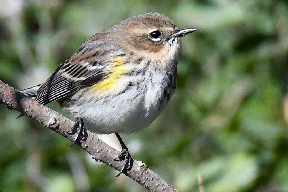 yellow-rumped_warbler