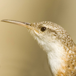 Canyon_wren