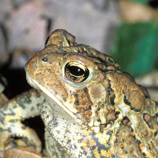 american_toad