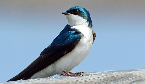 tree_swallow_Rivel