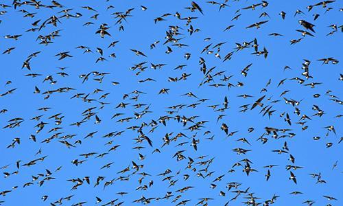 migrating_tree_swallows