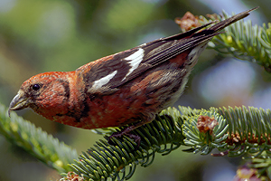 white_winged_crossbill