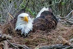 bald+eagle_nestcam_explore