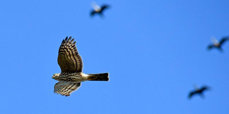 sharp-shinned_hawk_migrating_with_cormorants