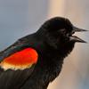 redwinged_blackbird