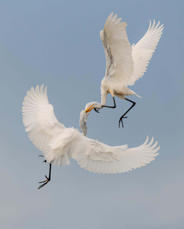 Great Egret in flight argument. / © Kyle Tansley