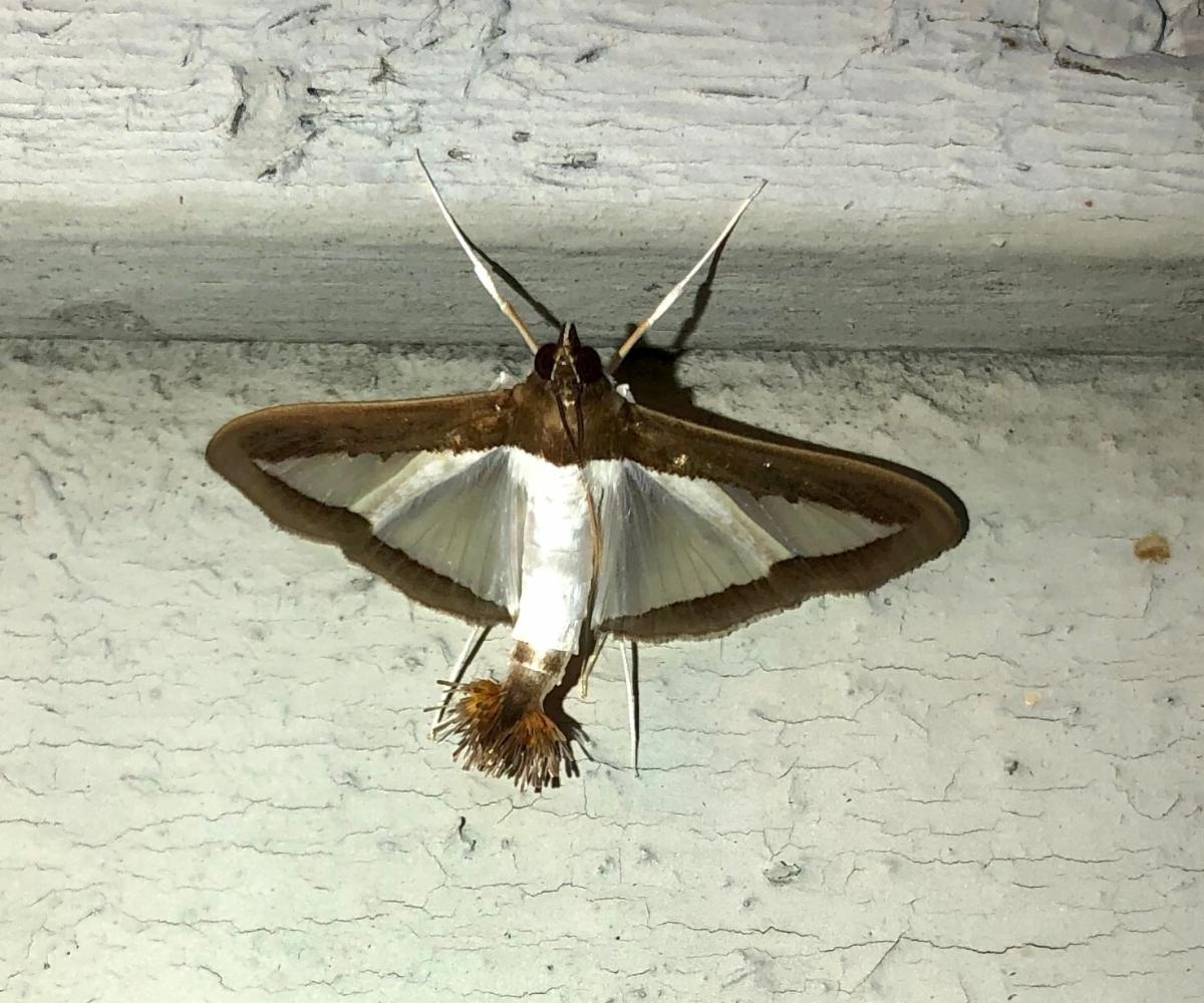 Melonworm Moth - Lewis Holmes