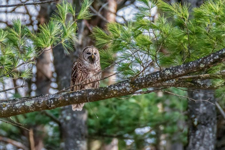 Barred Owl with a rodent in its bill