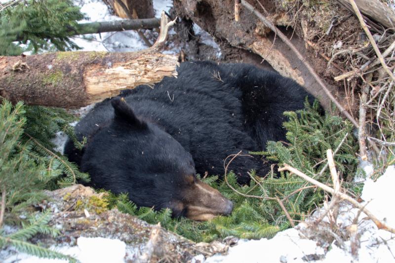 Stark the bear - KPM