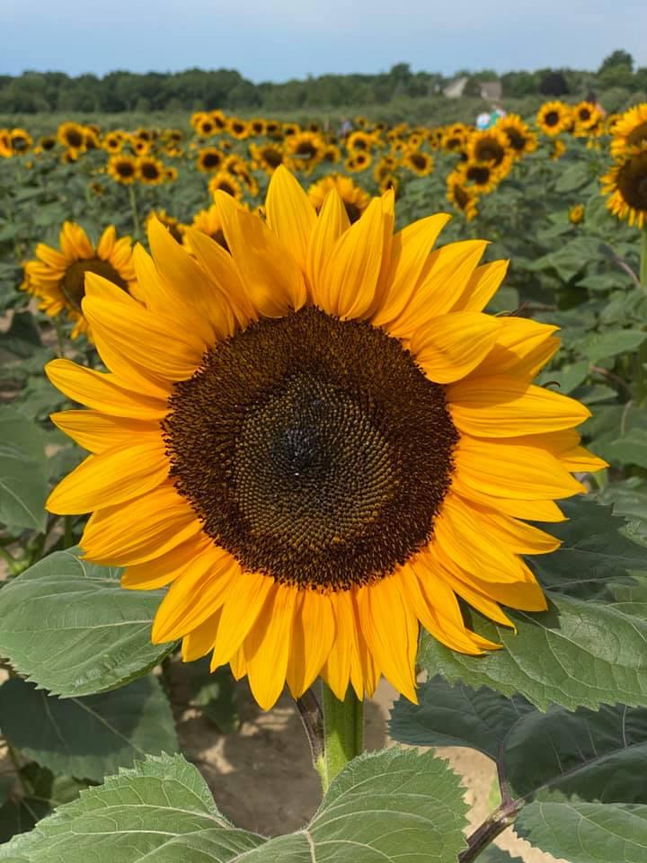 Sunflower Yoga Aug 8_02.jpg