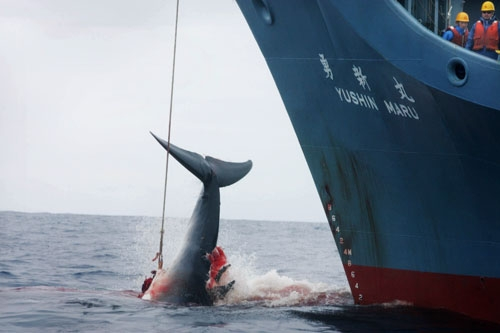 Example of Japanese Whale Research