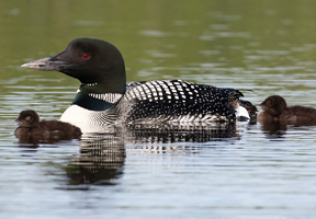 Photo of common loons by John Rockwood