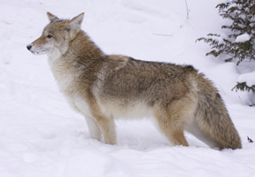 Photo of coyote from Shutterstock