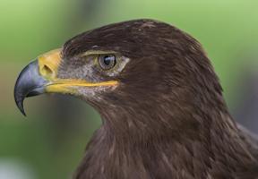 Photo of golden eagle by Carlos Bustamante Restrepo