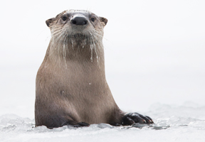 Photo of otter by Charles Hamilton James