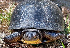 Photo of a Blanding's turtle by Mike Marchand