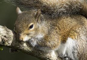 Eastern gray squirrel by Dennis Church