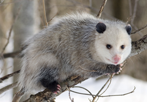 Photo of opossum by Cody Pope