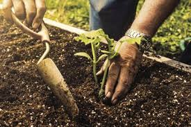 dirty hands planting a tomato