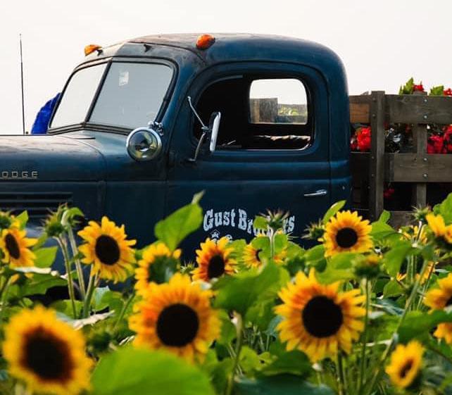 Gust Sunflower Field