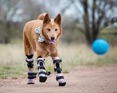 Nakio with his four prosthetic paws