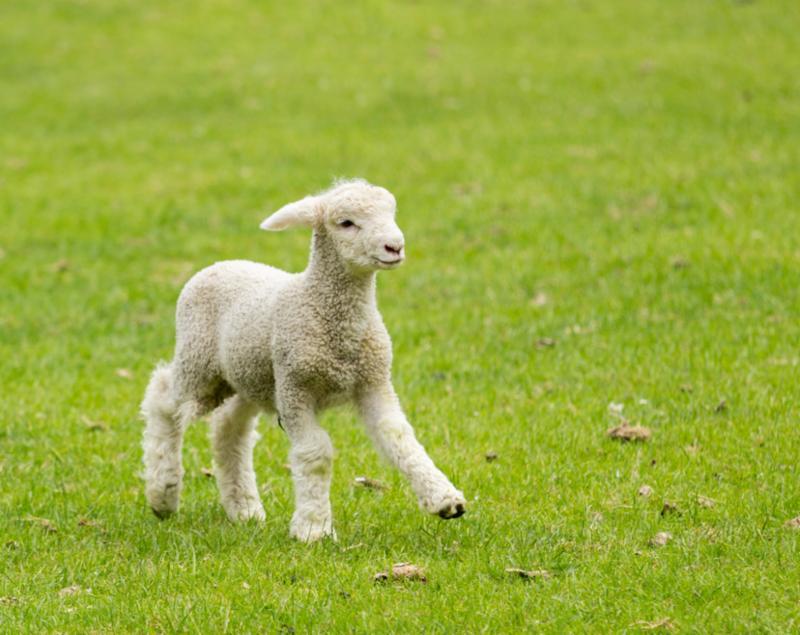 lamb_in_meadow.jpg