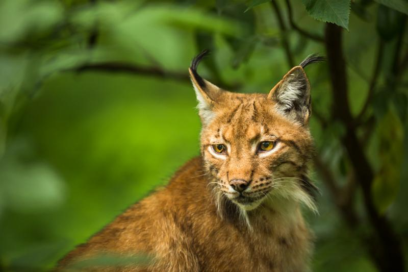 lynx_animal_wild.jpg