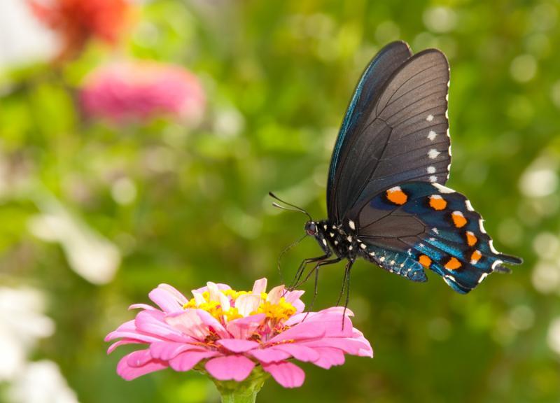 swallowtail_butterfly.jpg