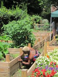 A gardener working on raised beds