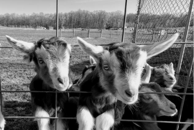 Goats at MSU Tollgate Farm