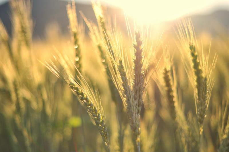 sunset_over_wheat.jpg