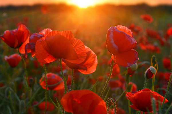 The sun shines through a field of poppies.
