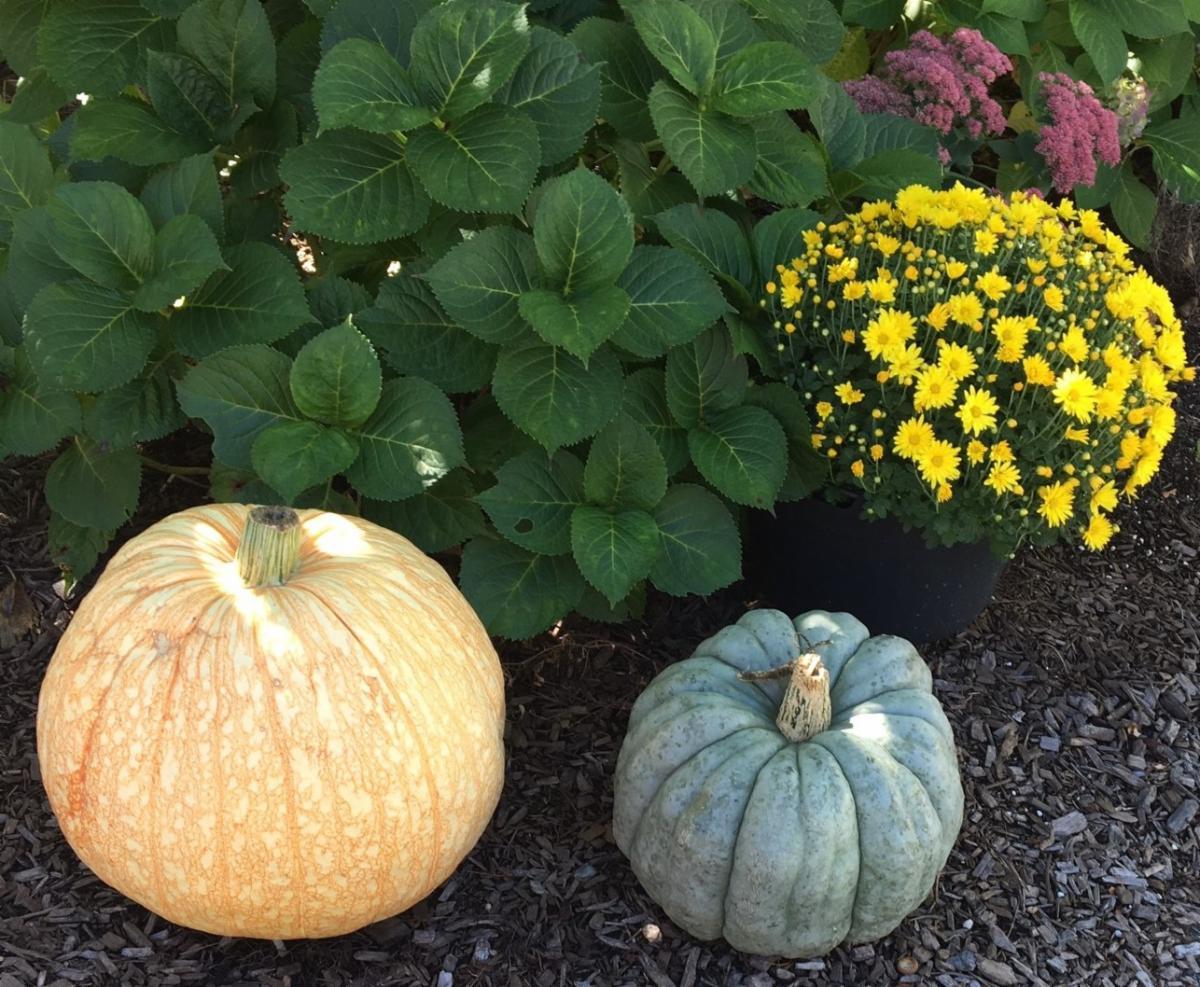 Mums _ Pumpkins B.jpg