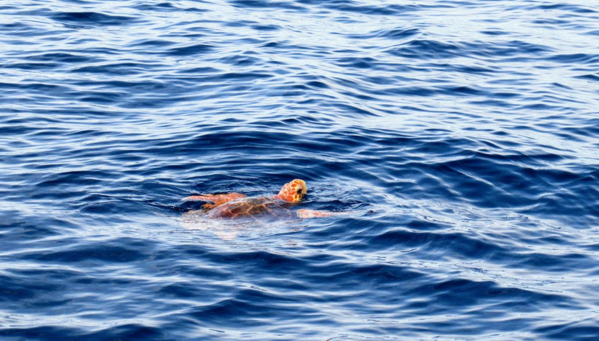loggerhead-turtle-3091332_1920.jpg