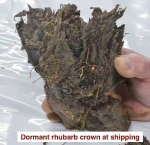 Dormant rhubarb crown