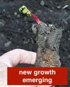 Rhubarb with emerging growth