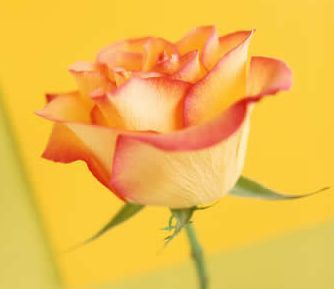 yellow-rose.jpg