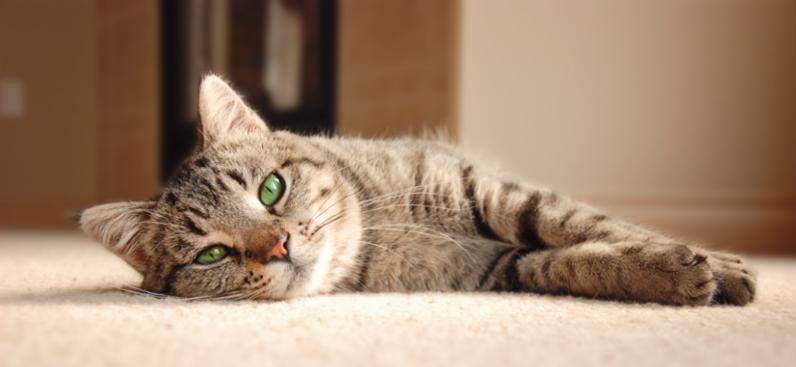 cat_relaxing_on_carpet.jpg