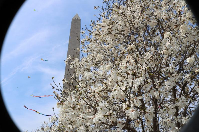 Washington Monument with cherry trees and kites