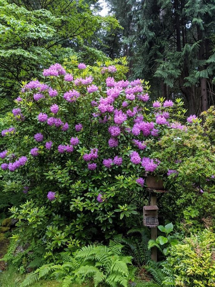 Rhodo in my garden