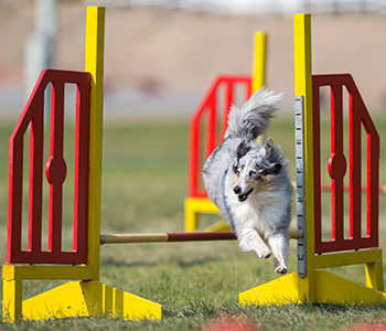 Dog on agility course outdoors